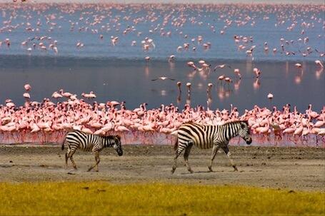 safari-tanzania-zebre